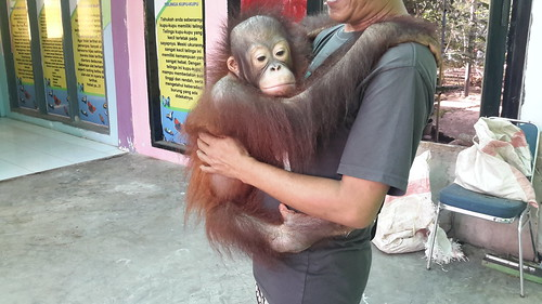 Michael the orangutan is forced to work as photo props for visitors
