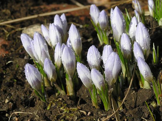 Crocus crysanthus 'Blue Pearl'