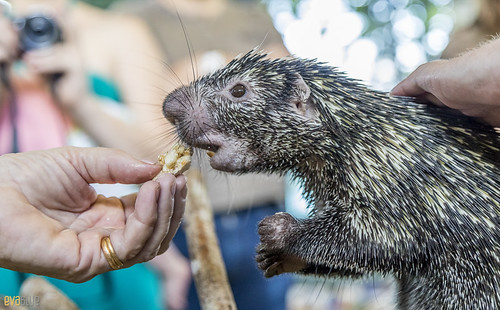 Rothschild's porcupine Gamboa Wildlife Rescue pandemonio 2017 - 12 | by Eva Blue
