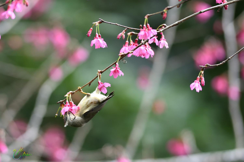 Taiwan_Yuhina_1589