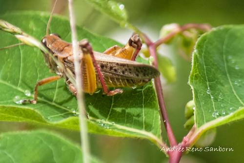 Red-legged Grasshopper (Melanoplus femurrubrum)