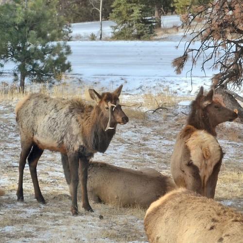 Bull elk with dangling antlers