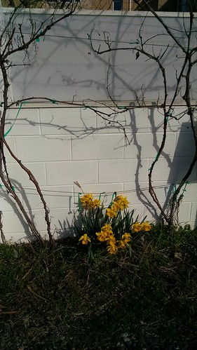 Pretty daffodils in Hyattsville.