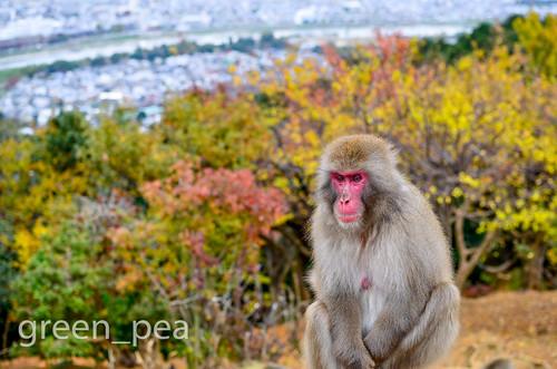 Iwatayama Monkey Park, Arashiyama, Kyoto, Japan. 嵐山モンキーパーク…  Flickr