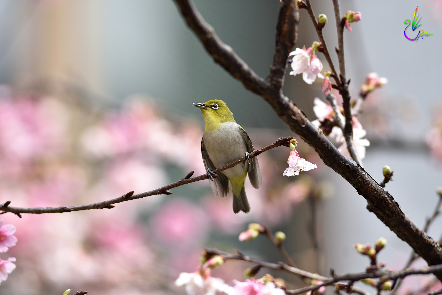 Sakura_White-eye_9390