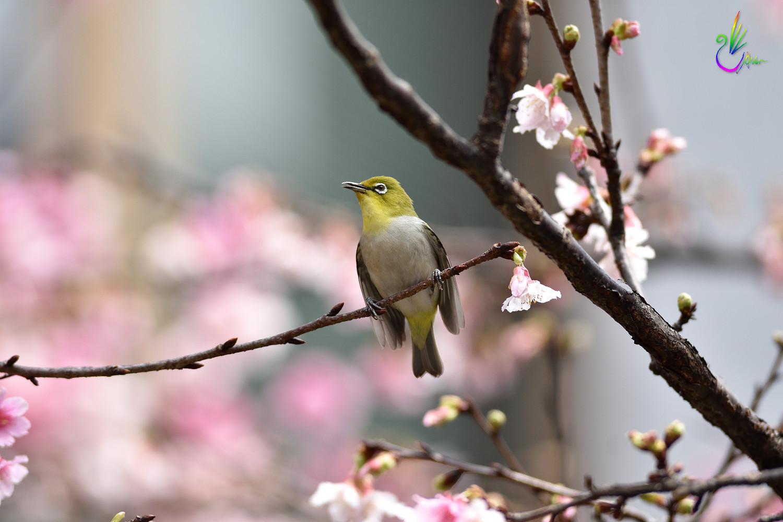 Sakura_White-eye_9390