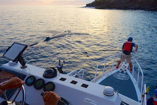 Entangled subadult humpback whale off Maui
