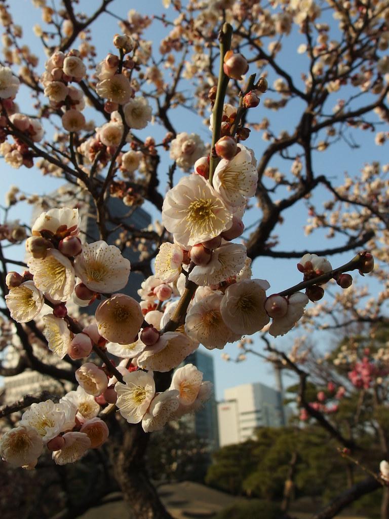 Plum tree in blossom @ Kyu Shiba Rikyu Garden @ Hamamatsuc… | Flickr