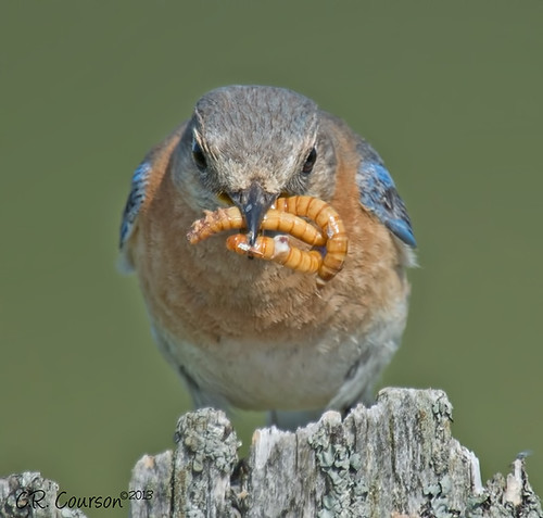 High Protein Diet | This Eastern Bluebird grabs a mouthful ...