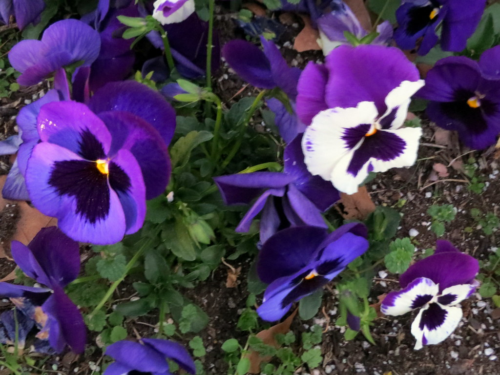 Purple and white pansies pansies in a flower garden by th flickr by dccradio purple and white pansies by dccradio mightylinksfo