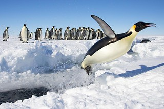 Emperor Penguin jumping! | by Christopher.Michel