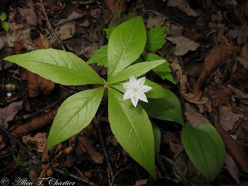 Trientalis borealis (Star-Flower)