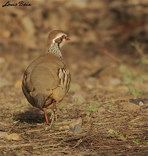 Red Legged Partridge | by Louis Bain photography