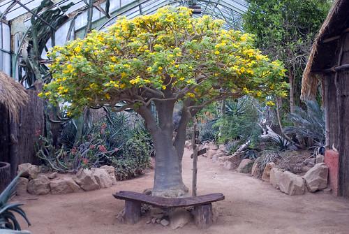 Uncarina grandidieri photo prise au jardin botanique de - Jardin botanique de lyon ...