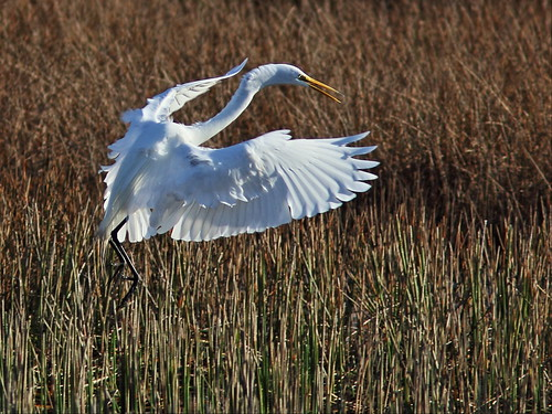 Great Egret 3-20140203
