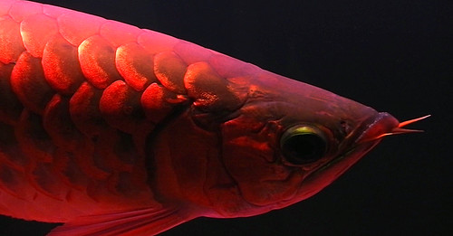 red dragonfish inside an aquarium
