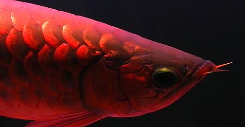 red dragonfish inside an aquarium