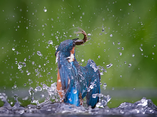 Kingfisher splash | by Tony McLean