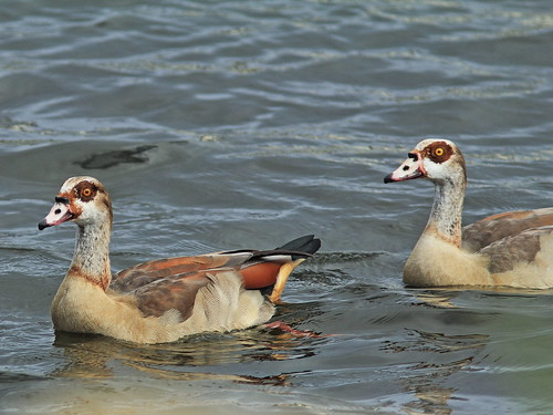 Egyptian Geese 20131225