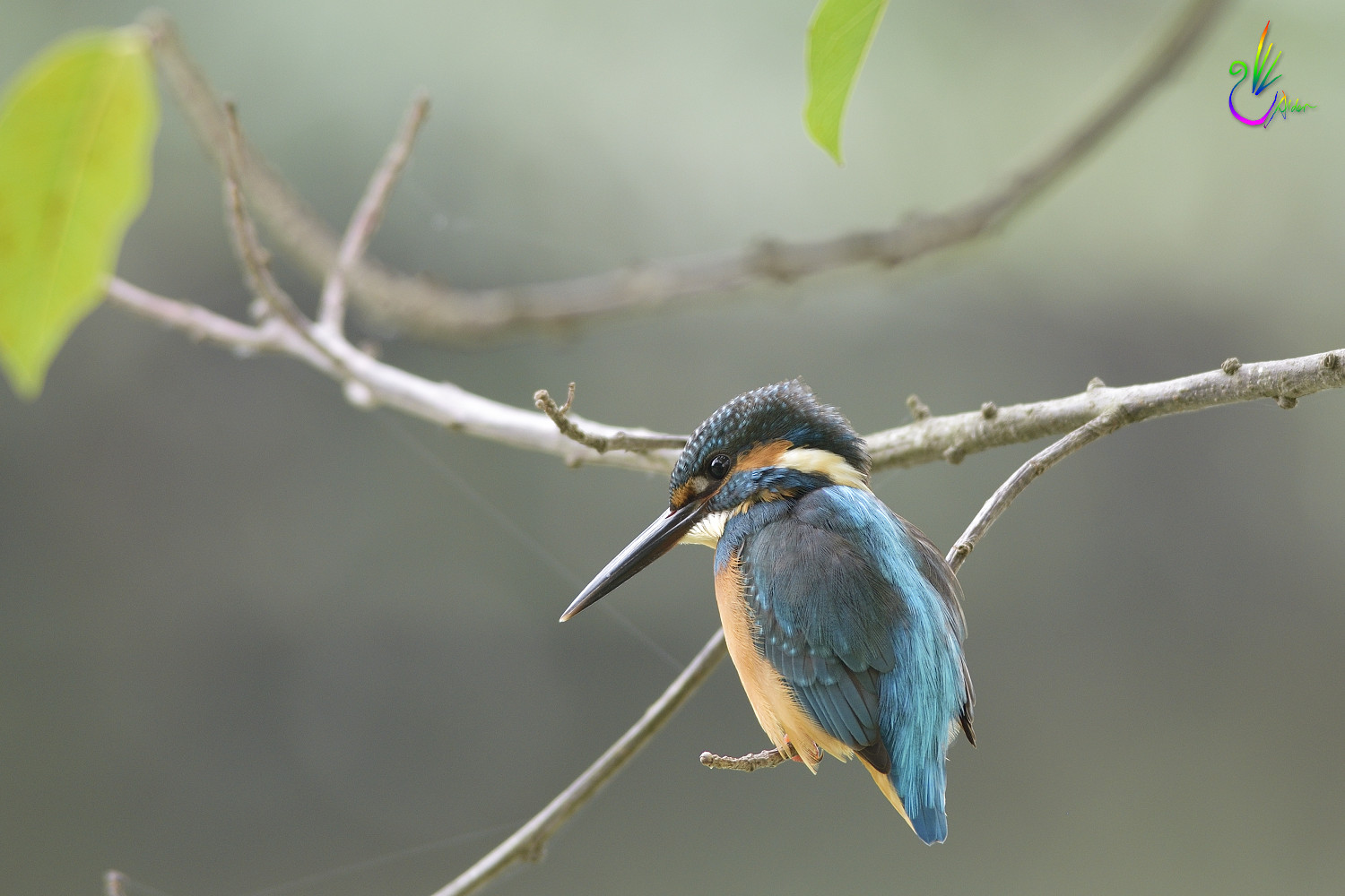 Common_Kingfisher_1734