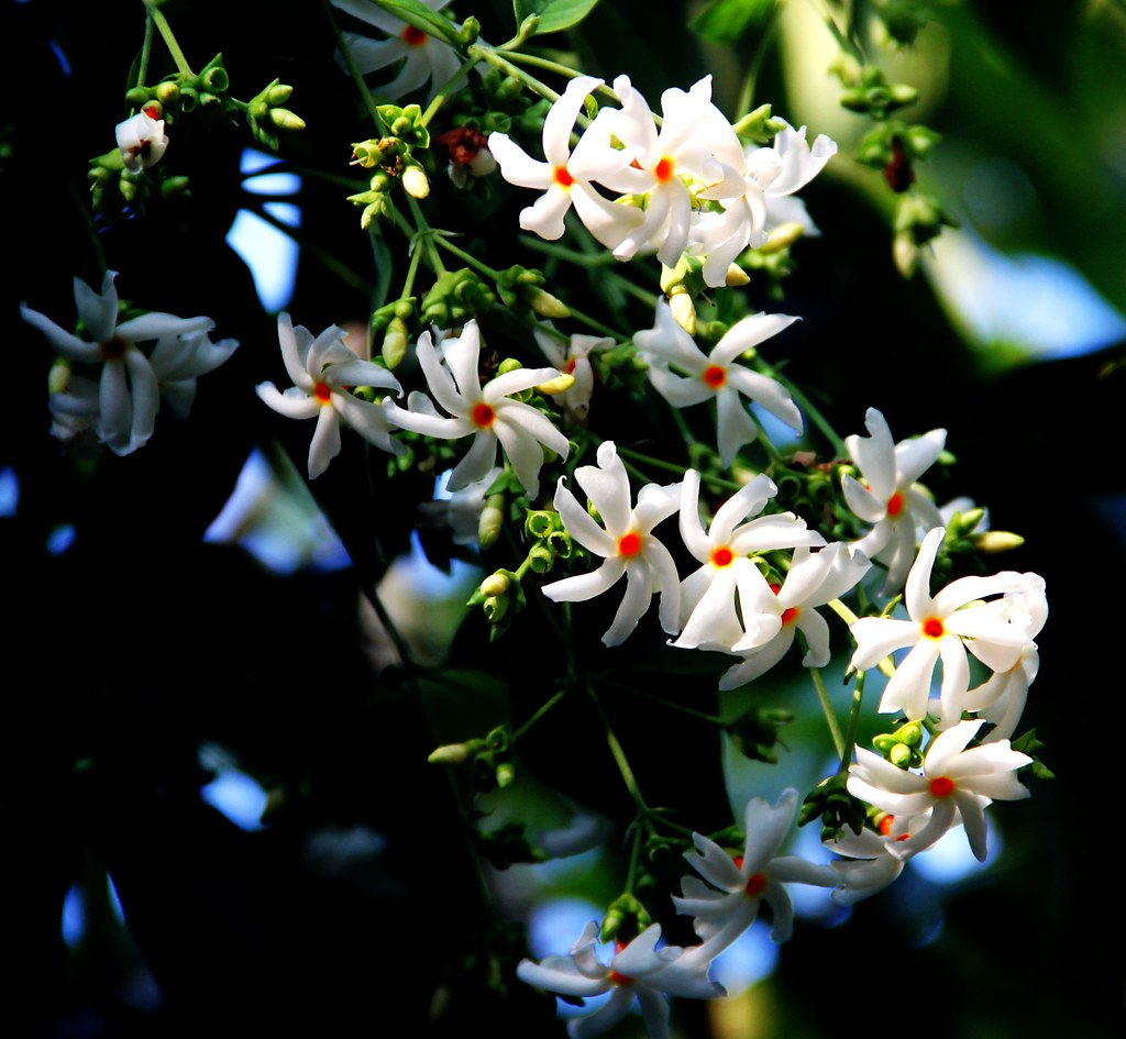 or the night flowering jasmine scientific na or the night flowering jasmine scientific namenyctanthes arbor izmirmasajfo