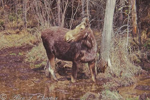 Alces alces (Moose)