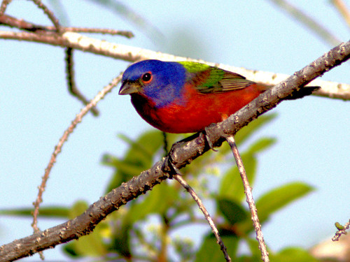 Painted Bunting 02-20170301