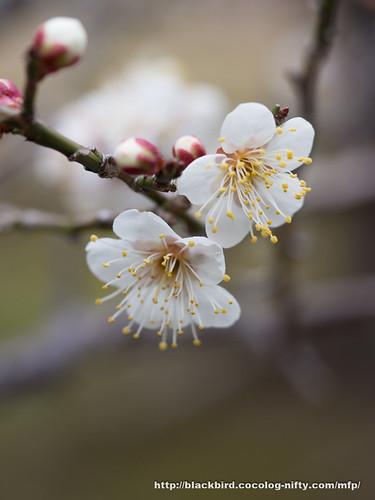 Ume blossoms 20170304 #05