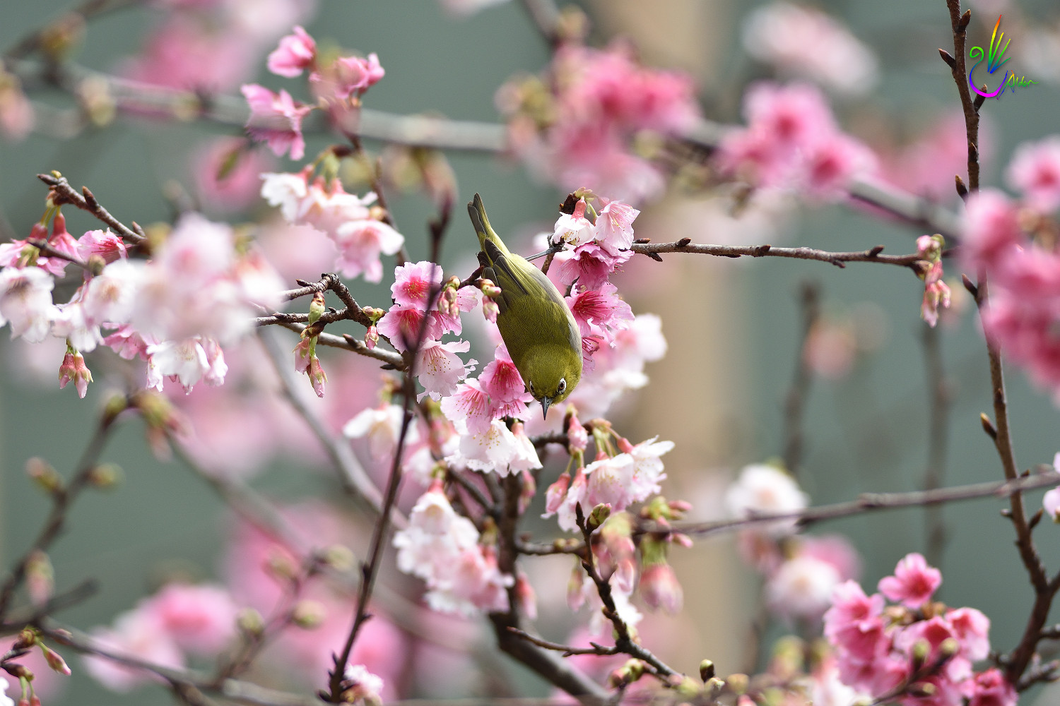 Sakura_White-eye_9216