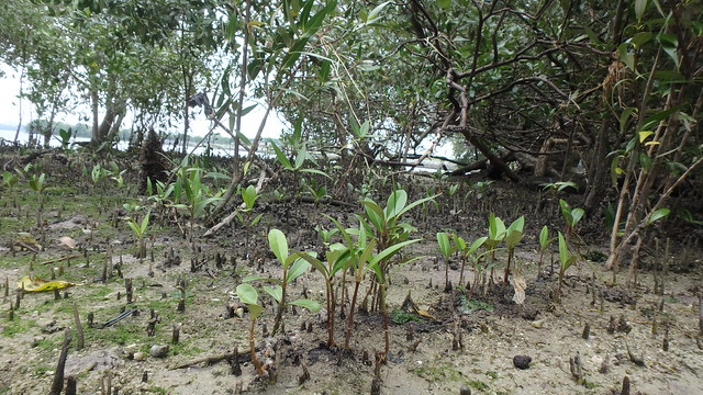 Mangrove seedlings at Kranji