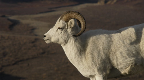 A <full-curl ram in Denali National Park and Preserve | by AlaskaNPS