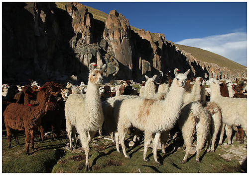 camelids at Quebrada de Allane | by www.TerraceLodge.com