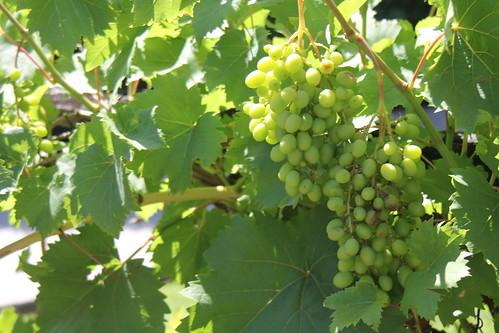 IMG 5802 Grapes