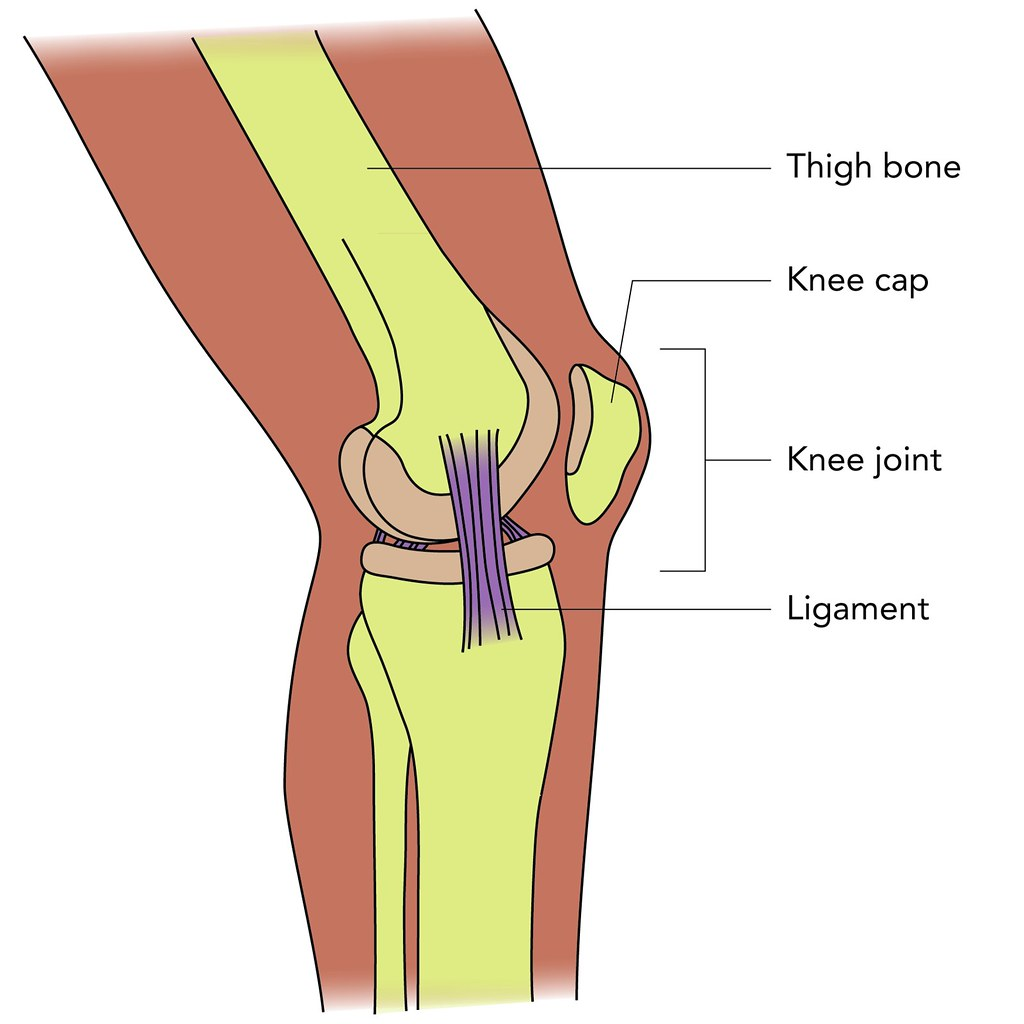 Knee structure | Illustration used in Gr 4-6 Natural Science… | Flickr