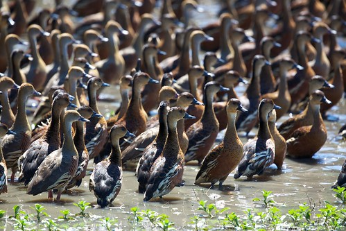 Wandering and Plumed Whistling Ducks
