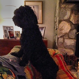 Guard dog cockapoo. #thinksshespeople @tracydare @windleypratt | by abbyef
