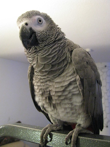 GrrlScientistArwenCongoAfricanGreyParrot | by GrrlScientist