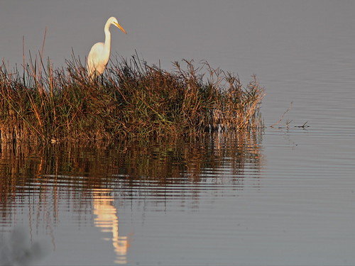 Great Egret at dawn 20140304