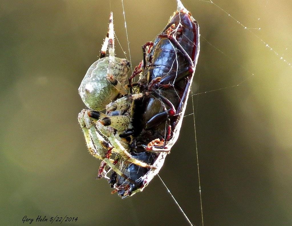 Garden Orb Weaver - Neoscona crucifera (This may be a Gian… | Flickr