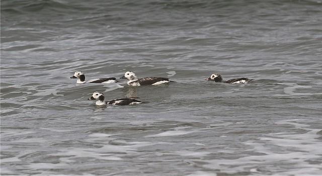 Long-tailed Ducks, Del Monte Beach, Monterey, CA  12-08-17