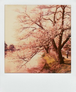 Cherry blossom #4 | by graflex45