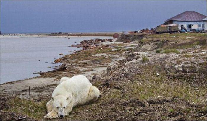 медведт на Белом_01