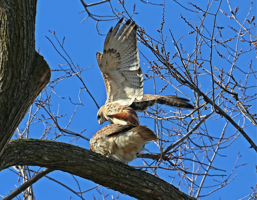 Mating hawks
