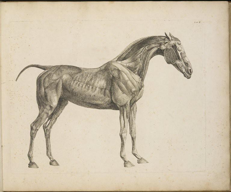 The Anatomy of the Horse, 1766, tab.II | George Stubbs (1724… | Flickr