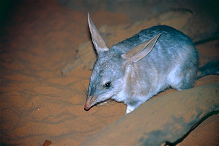 Greater Bilby (Macrotis lagotis) | by berniedup