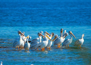 American White Pelican | by wackybadger