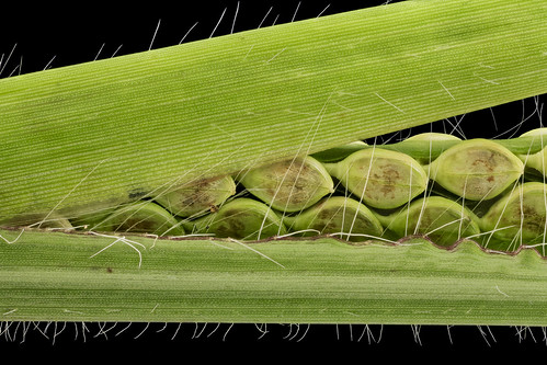 Paspalum species 1, MD, PG County_2013-08-20-12.23.29 ZS PMax | by Sam Droege