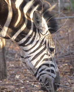 Zebra | by sermoa