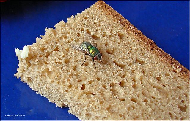 vegetarische Fliege - vegetarian fly