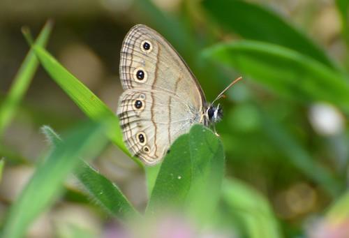 Little Wood Satyr butterfly